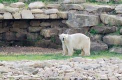 Επιφυλακή πολικών αρκουδών Στοκ Εικόνες