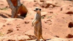 Επιφυλακή meerkat που στέκεται στη φρουρά απόθεμα βίντεο