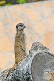 επιφυλακή meerkat Στοκ εικόνα με δικαίωμα ελεύθερης χρήσης