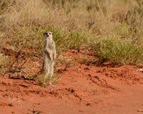επιφυλακή meerkat Στοκ Εικόνες