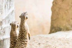 Επιφυλακή meerkats Στοκ φωτογραφία με δικαίωμα ελεύθερης χρήσης