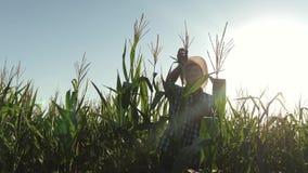 επιχειρηματίας που εργάζεται στη γεωργία ένας γεωπόνος αγροτών που εργάζεται στον τομέα, επιθεωρεί τους ωριμάζοντας σπάδικες καλα απόθεμα βίντεο