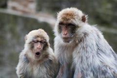 επιχειρησιακός πίθηκος Στοκ εικόνες με δικαίωμα ελεύθερης χρήσης