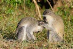 επιχειρησιακός πίθηκος Στοκ φωτογραφίες με δικαίωμα ελεύθερης χρήσης