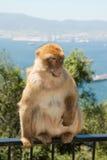επιχειρησιακός πίθηκος Στοκ Φωτογραφία