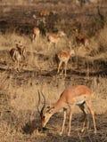 Επιχορήγησης gazelles στους θάμνους Στοκ Εικόνες