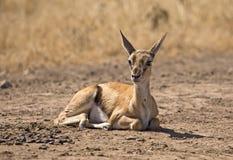 Επιχορήγηση μωρών gazelle Στοκ Φωτογραφία
