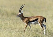 Επιχορήγηση Gazelle στη σαβάνα Στοκ Εικόνες