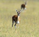 Επιχορήγηση Gazelle Στοκ φωτογραφίες με δικαίωμα ελεύθερης χρήσης