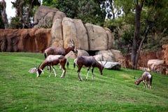 Επιχορηγήσεις Gazelle Στοκ Εικόνες