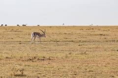 Επιχορηγήσεις Gazelle Στοκ φωτογραφίες με δικαίωμα ελεύθερης χρήσης