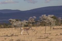 Επιχορηγήσεις Gazelle Στοκ Φωτογραφίες