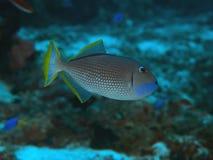 Επιχρυσωμένος triggerfish Στοκ εικόνα με δικαίωμα ελεύθερης χρήσης