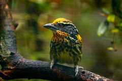 Επιχρυσωμένο Barbet, auratus Capito, Ισημερινός Κίτρινος toucan από τον Ισημερινό Πουλί από τη ζούγκλα Όμορφο πουλί από τροπικό δ Στοκ φωτογραφία με δικαίωμα ελεύθερης χρήσης