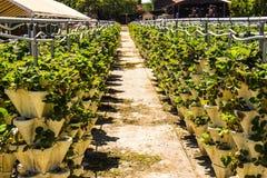 Επιλέξτε τις φράουλές σας σε έναν υπόλοιπο κόσμο στο τοπικό αγρόκτημα Στοκ εικόνες με δικαίωμα ελεύθερης χρήσης