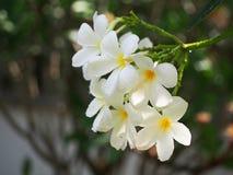 Επιλέξτε το σχέδιο συνόρων λουλουδιών Frangipani Plumeria εστίασης μετά από Στοκ Εικόνα