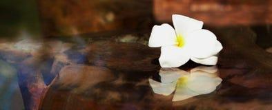 Επιλεγμένο λουλούδι του frangipani Plumeria στον πίνακα γυαλιού Στοκ εικόνα με δικαίωμα ελεύθερης χρήσης
