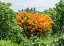 Επιδεικτικός, το δέντρο φλογών, βασιλικό Poinciana, άνθιση λουλουδιών δέντρων Στοκ Εικόνες