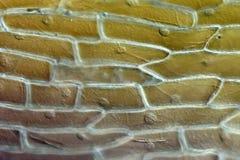 Επιδερμίδα κλίμακας βολβών κρεμμυδιών στοκ φωτογραφία με δικαίωμα ελεύθερης χρήσης