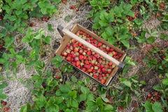 Επιλογή φραουλών Στοκ Εικόνες