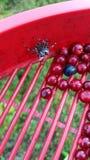 Επιλογή lingonberries Στοκ εικόνα με δικαίωμα ελεύθερης χρήσης