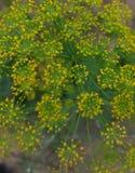 Εποχής χρώματος φύλλων άνθισης floral θάμνων μακρο μαράθου χορταριών πικραλίδων ανθών χλωρίδας χλόης άνηθου λιβαδιών κήπων φύση λ στοκ φωτογραφία
