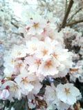 Εποχή άνοιξης λουλουδιών άνθισης στοκ εικόνες με δικαίωμα ελεύθερης χρήσης