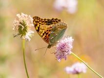 Εποχή άνοιξης Argynnis πεταλούδων pandorain Στοκ εικόνα με δικαίωμα ελεύθερης χρήσης