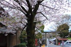 Εποχή ανθών κερασιών Ιαπωνία Στοκ Εικόνα