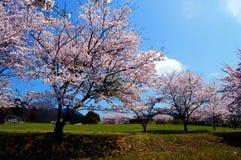 Εποχή ανθών κερασιών/ιαπωνική άνοιξη Στοκ φωτογραφίες με δικαίωμα ελεύθερης χρήσης