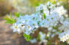 Εποχή λουλουδιών δέντρων της Apple την άνοιξη Στοκ φωτογραφία με δικαίωμα ελεύθερης χρήσης