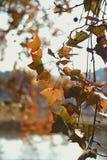 Εποχή φθινοπώρου με ένα μεταβαλλόμενο φύλλο σφενδάμου στοκ εικόνα με δικαίωμα ελεύθερης χρήσης