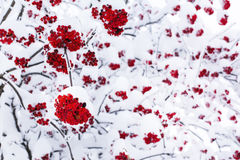 Εποχιακό υπόβαθρο χειμερινής φύσης με το κόκκινο μούρο σορβιών κάτω από το χιόνι Στοκ εικόνες με δικαίωμα ελεύθερης χρήσης