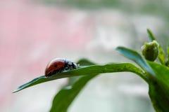 επτά-επισημασμένος ladybug στο φύλλο Στοκ Εικόνες