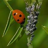 Επτά-επισημασμένο Ladybug, septempunctata Coccinella Στοκ Εικόνα