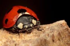 Επτά-σημείο Ladybug σε ένα κούτσουρο Στοκ Εικόνες
