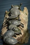 Επτά χελώνες σε μια σειρά σε ένα κούτσουρο Στοκ Εικόνες