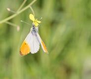 λεπτομέρεια της πεταλούδας cardamines Anthocharis (αυγή farfalla) Στοκ φωτογραφία με δικαίωμα ελεύθερης χρήσης