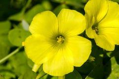 λεπτομέρεια δύο sorrel λουλούδια Στοκ Εικόνες