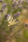 λεπτομερές ιδιαίτερα απεικόνισης iphiclides διάνυσμα swallowtail podalirius λιγοστό Στοκ φωτογραφίες με δικαίωμα ελεύθερης χρήσης