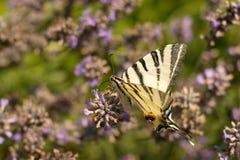 λεπτομερές ιδιαίτερα απεικόνισης iphiclides διάνυσμα swallowtail podalirius λιγοστό Στοκ εικόνα με δικαίωμα ελεύθερης χρήσης