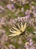 λεπτομερές ιδιαίτερα απεικόνισης iphiclides διάνυσμα swallowtail podalirius λιγοστό Στοκ Φωτογραφία