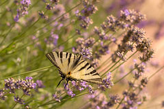 λεπτομερές ιδιαίτερα απεικόνισης iphiclides διάνυσμα swallowtail podalirius λιγοστό Στοκ εικόνες με δικαίωμα ελεύθερης χρήσης