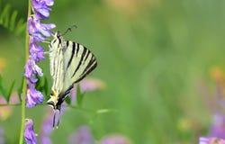 λεπτομερές ιδιαίτερα απεικόνισης iphiclides διάνυσμα swallowtail podalirius λιγοστό Στοκ Εικόνες