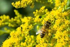 λεπτομερής η μέλισσα απομονωμένη μέλι μακροεντολή συσσώρευσε πολύ άσπρο Στοκ Φωτογραφίες