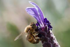 λεπτομερής η μέλισσα απομονωμένη μέλι μακροεντολή συσσώρευσε πολύ άσπρο Στοκ φωτογραφίες με δικαίωμα ελεύθερης χρήσης