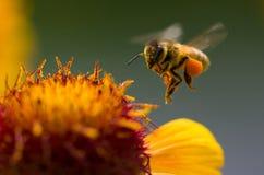 λεπτομερής η μέλισσα απομονωμένη μέλι μακροεντολή συσσώρευσε πολύ άσπρο Στοκ Φωτογραφία