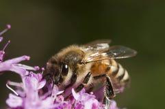 λεπτομερής η μέλισσα απομονωμένη μέλι μακροεντολή συσσώρευσε πολύ άσπρο Στοκ Εικόνα