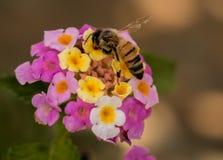 λεπτομερής η μέλισσα απομονωμένη μέλι μακροεντολή συσσώρευσε πολύ άσπρο Στοκ εικόνες με δικαίωμα ελεύθερης χρήσης