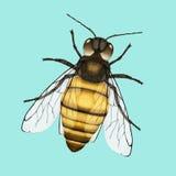 λεπτομερής η μέλισσα απομονωμένη μέλι μακροεντολή συσσώρευσε πολύ άσπρο Στοκ Εικόνες